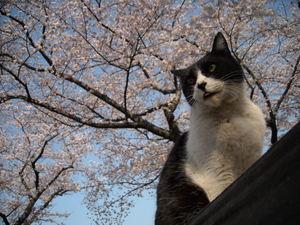 Sakura1_001