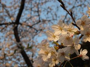 Sakurasaku_050