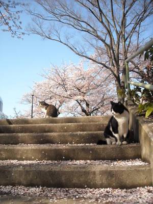 Sakuramankai_010