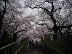 2011sakura3_003