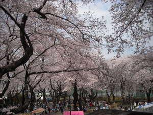 2011sakura3_005