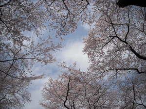 2011sakura3_006