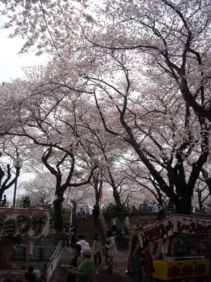 2011sakura3_007