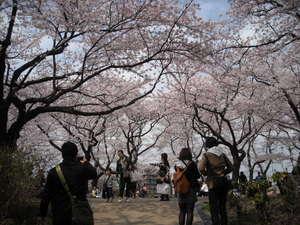 2011sakura3_009