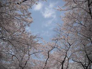 2011sakura3_012