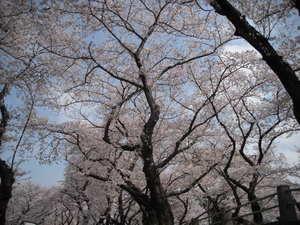 2011sakura3_013