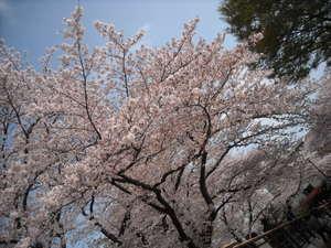 2011sakura3_016