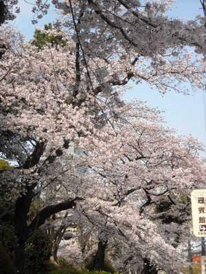 2011sakura3_020