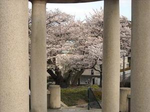 2011sakura3_044