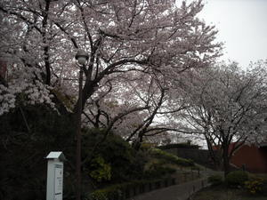 2011sakura3_066