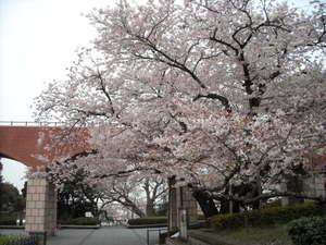 2011sakura3_069