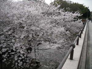 2011sakura3_070