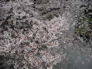 2011sakura3_071
