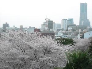 2011sakura3_077