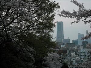 2011sakura3_079