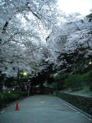 2011sakura3_093