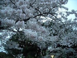 2011sakura3_095