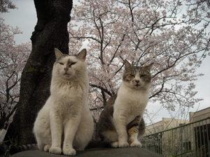 Sakura3_031