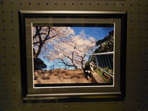 Sakurasonogo_115