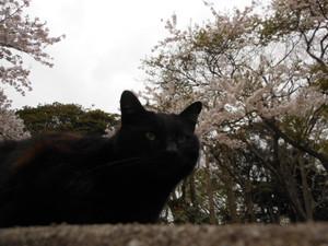 Sakurasonogo_021