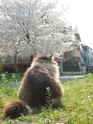 Sakura2014_055